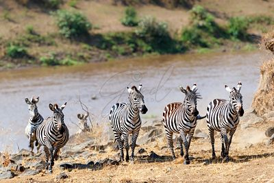 Zebra Running On Mara River Bank