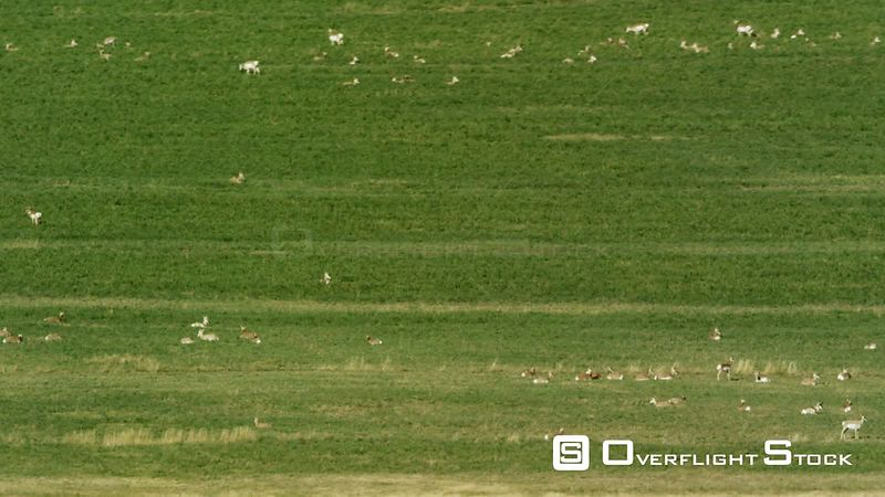 A large herd of Antelope relax in an alfalfa field in the Madison valley in southwestern Montana