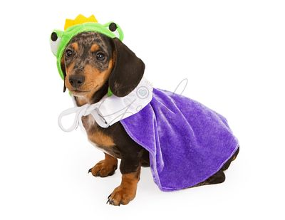 Dachshund Puppy Wearing a Frog Prince Costume