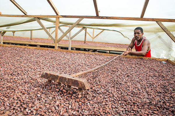 Retournement des fèves de cacao pour un séchage homogène dans le centre de séchage et de mise en sac de la CECAB, Coopérative de production et d'exportation de Cacao Biologique de Guadalupe, Sao Tomé / Turning cocoa beans for homogeneous drying in the CECAB Drying and Bagging Center, Guadalupe, Organic Cocoa Production and Export Cooperative, Sao Tome