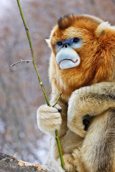 Golden Monkey Holding a Twig