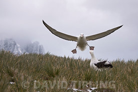 Wandering Albatross Diomeda exulans coming in to land at Trollheim South Georgia January