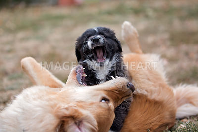 Puppy wrestling with older dog