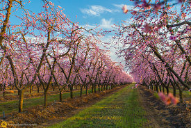 Peach Orchards in Bloom #16