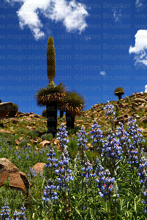 Andean lupinus species and Puya raimondii plant with flower spike