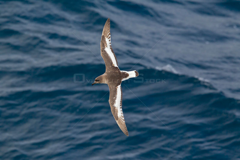 Antarctic petrel (Thalassoica antarctica) in flight, showing upperwing, Drake Passage, South Atlantic, December.