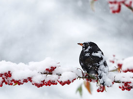 Blackbird Turdus merula male feeding on berries in garden in snow Norfolk winter