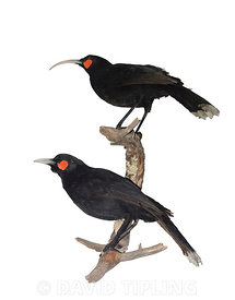 Huia Heteralocha acutirostris.  extinct species of New Zealand wattlebird, endemic to the North Island of New Zealand. The last confirmed sighting of a huia was in 1907