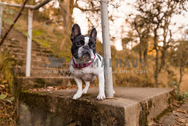 French Bulldog at Park