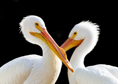 Closeup Two Pelicans Black Background