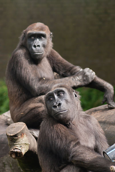 Two young lowland gorilla's