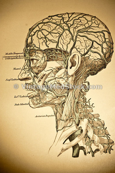 Human Head external veins