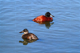 Adult male (top) and female (bottom) Andean Ruddy ducks (Oxyura jamaicensis ferruginea)