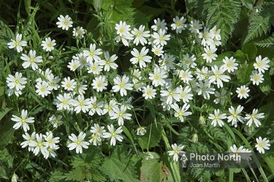 STITCHWORT 04A - Greater stitchwort in hedgerow