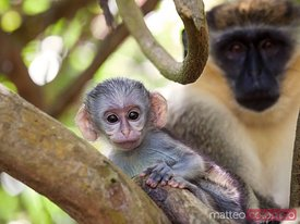 Baby green monkey with mum on tree, Barbados