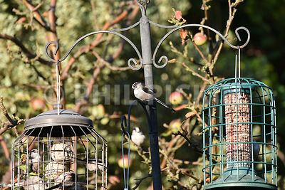 Long tailed tits on a bird feeder.