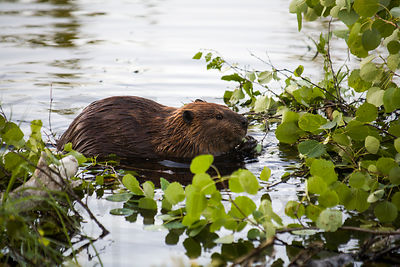 The North American Beaver