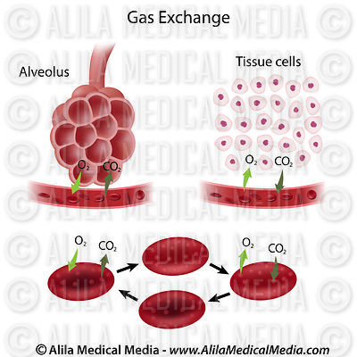 Gas exchange process, labeled diagram.