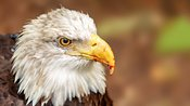 Bald Eagle With Blood on Beak