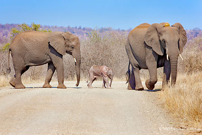 African Elephant with GPS tracking device and baby elephant