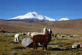 Alpacas ( Vicugna pacos ) grazing, Guallatiri volcano in background , Las Vicuñas National Reserve , Region XV , Chile