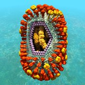 Influenza virus cutaway showing internal structure #3 blue