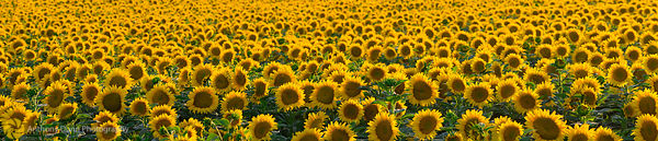 Sunflower Field Panorama #4