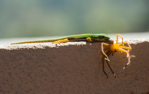 Lined Day Gecko with a Huntsman Spider
