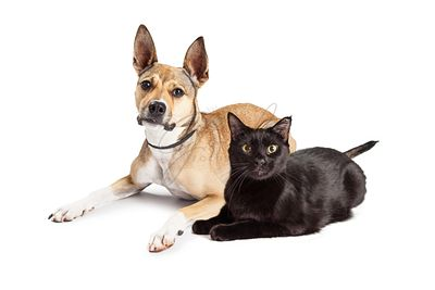 Shepherd Mix Dog and Black Cat Laying Together