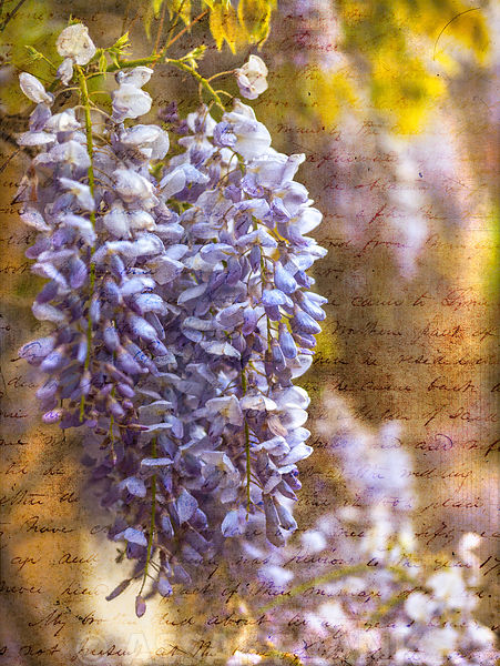 Colorful Wisteria in spring