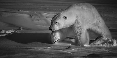 Polar bear walking alone on the snow, Svalbard 2014 © Laurent Baheux