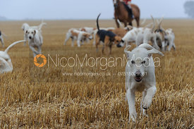 Cottesmore hounds - The Cottesmore Hunt at Tongue End 28/8