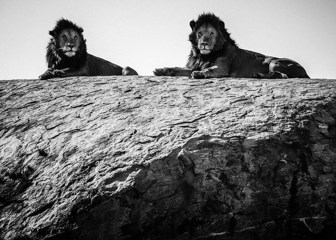 03687-Two_lion_brothers_on_a_rock_1_Tanzania_2018_Laurent_Baheux
