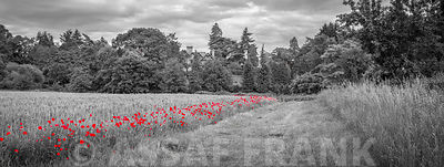 Poppies flowers in grassland