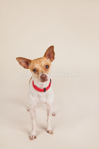 Small dog full body on tan background