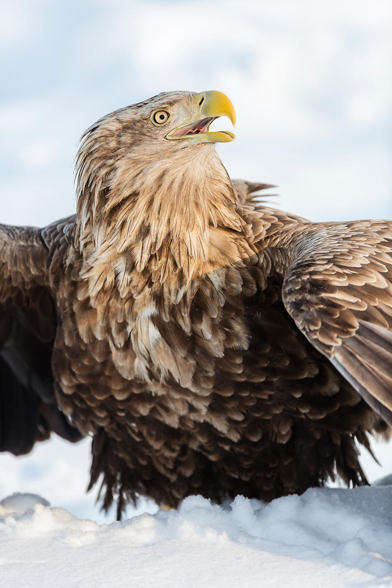 "White Tailed Eagle ""Mantling"" its Catch"