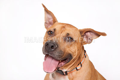 Large dog close up on white background