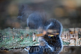 Reflection of Grey squirrel Sciurus carolinensis in pool Norfolk autumn