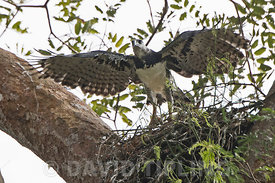 Harpy Eagle Harpia harpyja female at nest with six week old chick in Darién National Park Panama