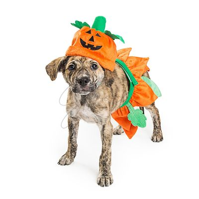 Cute Puppy in Pumpkin Halloween Costume