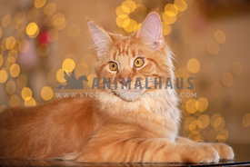 beautiful orange maine coon lying down looking away