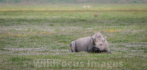 A Black rhino (Diceros bicornis) having a rest, Ngorongoro Crater, Tanzania; Landscape