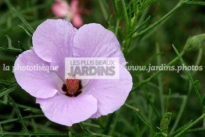 affordable alyogyne umagic momentsu hutwow blue hibiscus malvaceae arbuste with hibiscus de. Black Bedroom Furniture Sets. Home Design Ideas