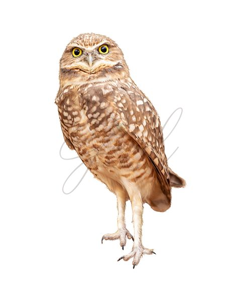 Burrowing Owl Facing Forward Extracted