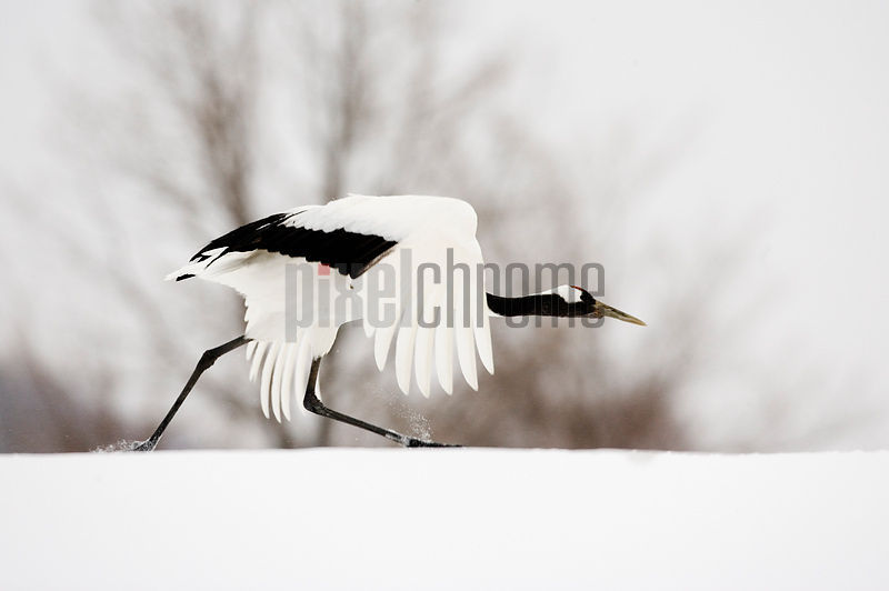 Red Crowned Crane in Taking off, Tsurui, Hokkaido, Japan