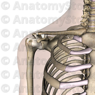 shoulder-ligaments-acromioclaviculare-transversum-humeri-coracoacromiale-coracohumerale-coracoclaviculare-scapulae-superius-skin