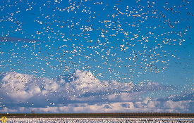 Snow Geese Taking Flight #6