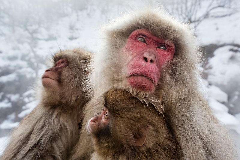 Portrait of a Japanese Macaque Family