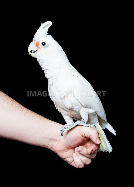 Cockatoo Bird on Hand of Person