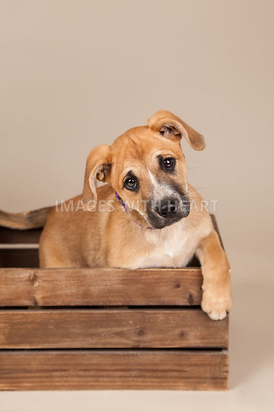 Puppy in a Crate Tan Background